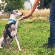 Person teaching dog to shake.